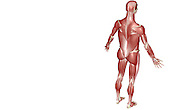A superior posterolateral (right side) view of the muscular system. Royalty Free