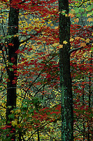 Deep red, green, and yellow color from maple trees in Vermont, USA
