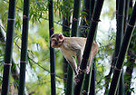A Rhesus monkey (Macaca mulata)on watch at Vanchet village, Savannachet province, Laos.