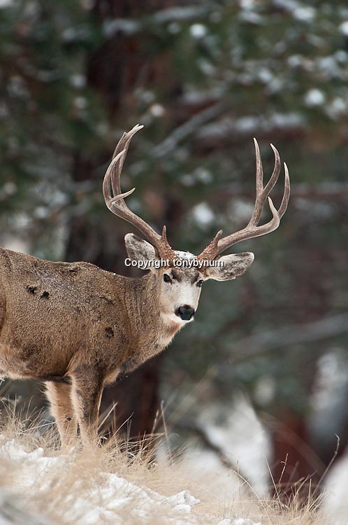 trophy muledeer buck snowing winter, grass pine habitat