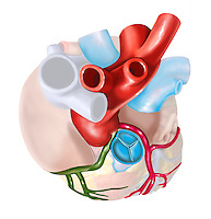 Biomedical illustration of a top view of the heart showing that both the right and left coronary arteries originate from the left aortic sinus.