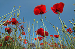 Field Poppy, Papaver rhoeas, looking up at flower heads against blue sky.France....
