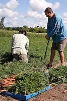 Farmer Gavin Dandy and farm interns harvest carrots at Everdale organic farm, near Toronto, Ontario
