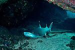 White-tip Reef Shark, Triaenodon obesus, (Rüppell, 1837), mano lalakea, Mala Pier, Maui Hawaii