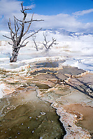 Fine art landscape, winter image of bare snags reaching up out of Canary Spring towards blue sky with white clouds against winter mountains and patterns of hot springs and mineral terraces in foreground, near Mammoth, Wyoming, in Yellowstone National Park.
