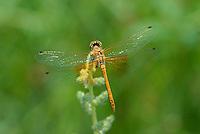 362700037 juvenile male band-winged meadowhawk sympetrum semicintum wild california