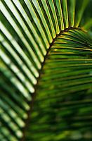 Europe/France/DOM/Antilles/Petites Antilles/Guadeloupe/Deshaie : Branches de palmiers