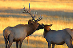 Elk Affection at Sunset, Norris Junction, Yellowstone National Park, Wyoming
