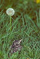 Fledgling bird in grass standing next to dandelion