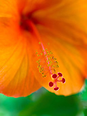 A macro of the stamen of a vivid orange hibiscus flower, Big Island.
