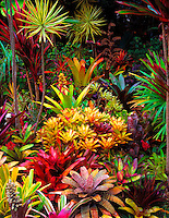 """Bromeliad Sunset: Sunset alpine glow bathes the photographer's bromeliad garden after an afternoon shower, Big Island. Shot on 4x5"""" transparency film, available only as a fine art print."""