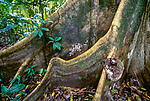 Rainforest trees often have large buttressed trunks. This adaptation lends support ot the trees because their root system must necessarily be shallow in order for them to obtain nutrients from the rotting soil litter. There is a three-toed sloth on one of the buttresses of this giant Amazonian tree.