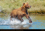Brown Bear Fishing