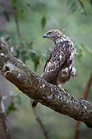 Changeable Hawk Eagle in Wilpattu National Park.