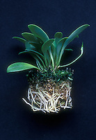 Healthy orchid plant: sympodial Masdevallia orchid, unpotted to show extensive live root system and pest free, succulent leaves