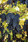 Bulgaria. Bunch of black grapes on the vine.