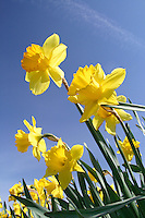Yellow daffodils against blue sky, Mount Vernon, Skagit Valley, Skagit County, Washington, USA