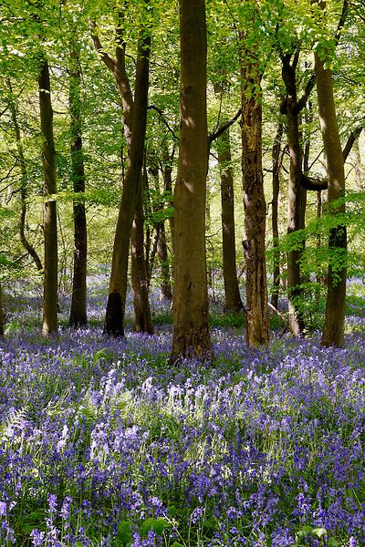 Bluebells in Woodland, England