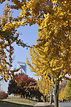 Gingko trees on Martin Luther King Boulevard near downtown Charlotte, NC