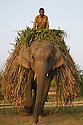 India, Kaziranga National Park, Indian elephant (Elephas maximus indicus) carrying elephant grass which is its main food source in Kaziranga National Park