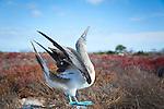 North Seymour Island in the Galapagos National Park, Galapagos, Ecuador, South America.  A blue footed booby displaying