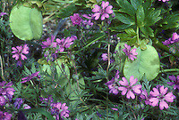 Helleborus vesicarius seed pods with Geranium tuberosum flowers