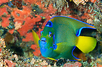 Carval Rock, Underwater, USVI, Queen Angelfish