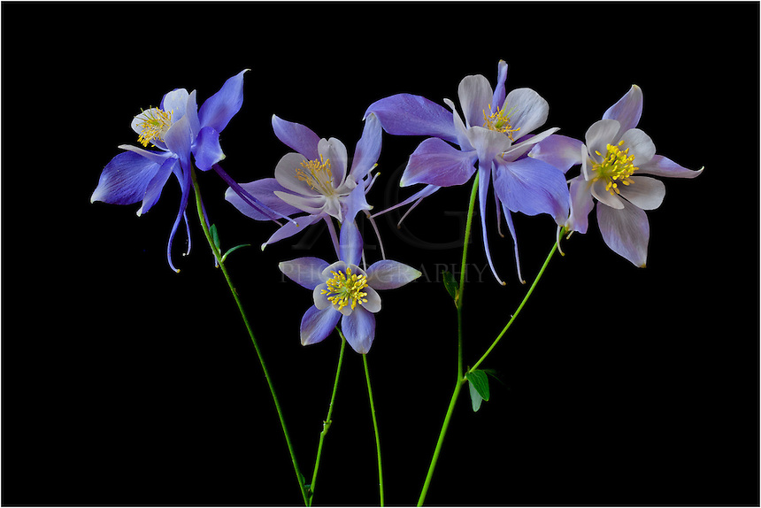 columbine flowers  flower, Beautiful flower
