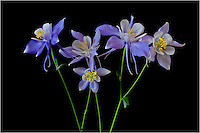 This image of Colorado's State Flower shows a family of Columbine flowers in all their regalness.