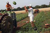 Contadini durante la raccolta di cocomeri. Farmers during the harvesting of watermelons....