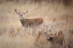 Trophy Whitetail buck shedding velvet  and doe in Montana