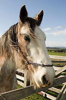 Draught horse at Gulf Station, Yarra Glen