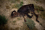"Dead calf behind the Haverfield home.  The HAverfields raise ""risk"" calves, defined by having made it through the first several months of life without the usual vaccinations.  The Haverfields lose more than 5% of this stock...Larry and Bette Haverfield on their ranch near the defunct town of Russell Springs, Kansas.  The Haverfields have been embroiled in a long-running war over the presence of prairie dogs on their ranch.  The Haverfields assert, correctly, that the prairie dogs contribute to increased biodiversity on their property, enabling them to graze their cattle in a fashion that mimics the movement and grazing patterns of pre-settlement buffalo through their range.  The county, particularly county commissioner Carl Ulrich, contend that prairie dogs are a nuisance and should be eradicated.  Many of the haverfields' neighbors feel the same way.  In recent years, the county has exterminated prairie dogs from the Haverfield property using a number of methods, including gas and poison, before sending the Haverfields the bill.  The Haverfields have discovered a number of 'secondary kill' animals, carcasses of birds and mammals that have eaten the poisoned prairie dogs and subsequently been killed themselves.  Complicating matters, the US Fish and Wildlife Service has recently re-introduced endangered black footed ferrets onto the land, a natural predator of the prairie dogs.  This move has heightened tensions between neighbors and led to a series of legal maneuvers on both sides to control the spread of the prairie dogs as well as the ferrets."