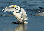 Whooper swan, Cygnus cygnus, adult in flight, flying, landing on ice, Odaito, Hokkaido Island, Japan, japanese, Asian, wilderness, wild, untamed, ornithology, snow, graceful, majestic, aquatic.Japan....