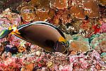 Orangespine Unicornfish, Naso lituratus, (Forster, 1801), Lanai Hawaii