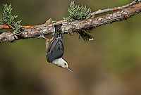 561250009 a wild white-breated nuthatch sitta carolinensis tenussuma hangs from a douglas fir bough in madera canyon green valley arizona united states