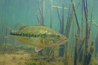 Largemouth Bass, Underwater