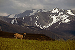 Deer in field on Hurricane Ridge at sunset on the Olympic Penninsula with the Olympic Mountains in the background Washington State USA