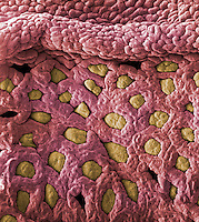 The surface of the inner mucosa of simple columnar epithelial cells of the mammal appendix, which is an evagination of the cecum region of the large intestine. The rounded projections are folds of the epithelium over the numerous lymphatic nodules, and the slit-like apertures are openings into the tubular crypts of Lieberkuhn of the mucosa. SEM X45  **On Page Credit Required**