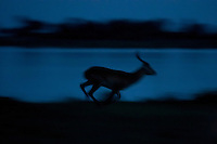 A silhouette of a red lechwe running beside the water's edge at dusk, Botswana, Africa
