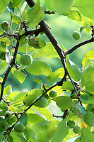 Branch of small, bright green hanging crab apples, Malus x zumi 'Calocarpa', in late summer before ripening, Van Dusen Botanical Garden, Vancouver, BC