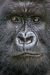 Mountain gorilla, Volcanoes National Park, Rwanda