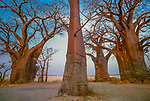 Baobab trees, Nxai Pan National Park, Botswana