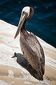 Brown Pelican, La Jolla, North America