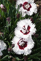White & red flowers of Dianthus Brilliant Star, Star Single Series