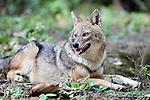 Golden Jackal, Canis aureus, sitting, laying in woodland, Corbett National Park, Uttarakhand, Northern India.India....