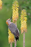 Golden-fronted Woodpecker (Melanerpes aurifrons), male feeding from medicinal aloe (Aloe vera), Laredo, Webb County, South Texas, USA