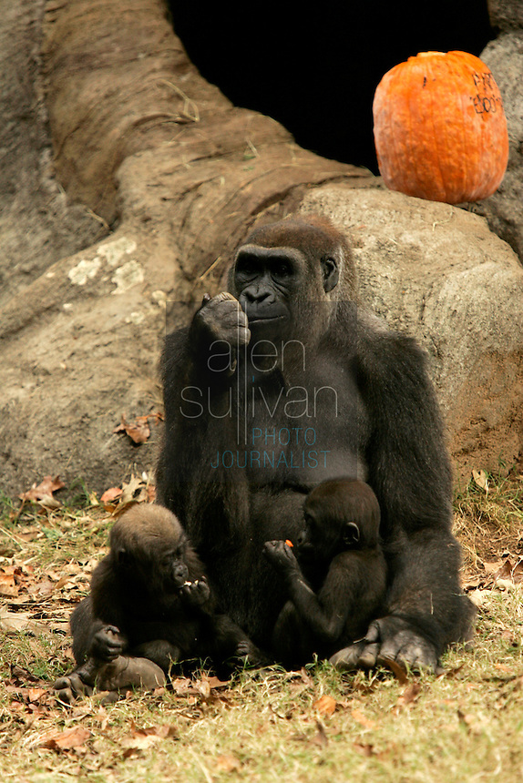 A rare set of western lowland gorilla twins--Kali (bottom left), a male, and Kazi, a female--with their mother, 22-year-old Kuchi, at Zoo Atlanta. The twins turned one year old today and are the only twins in a captive population to be entirely mother-reared. &quot;The decision to allow Kuchi to raise both of her offspring was a difficult one and unprecedented,&quot; said Dr. Tara Stoinski, Zoo Atlanta manager of conservation partnerships. &quot;But we decided to stick to our philosophy that mother-rearing is best. With this success we have established a new precedent for the management of gorilla offspring in zoos.&quot;<br />