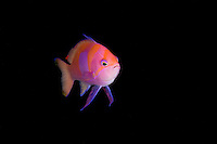 Male Squarespot Anthias