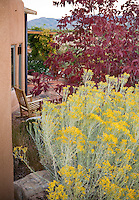 Yellow flowering native shrub, Chamisa or Rabbitbrush (Chrysothamnus nauseosus) and ash tree, Fraxinus americana 'Autumn Purple' in Xeriscape garden, Santa Fe, New Mexico